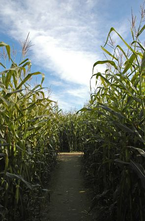 corn stalk: Pathway through the corn maze