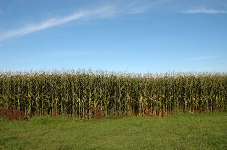 edge: Corn field on bright sunny day