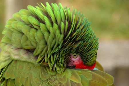 Great Green Macaw hiding his beak and fluffing up feathers photo