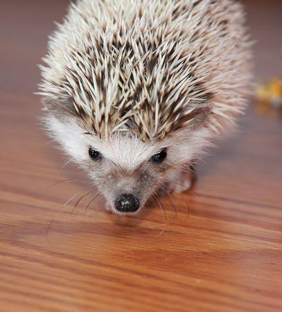 pigmy: Alert african pigmy hedgehog wandering on wooden floor