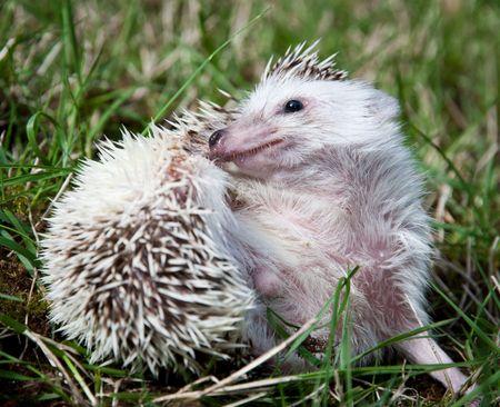 pigmy: African pigmy hedgehog grooming itself on a grass