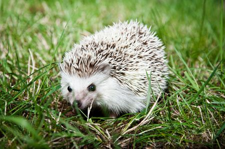 pigmy: African pigmy hedgehog on a grass looking cautiously