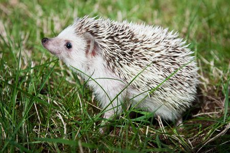 pigmy: African pigmy hedgehod standing on a grass and holding muzzle up