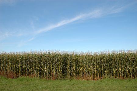 The edge of a corn maze on bright sunny day