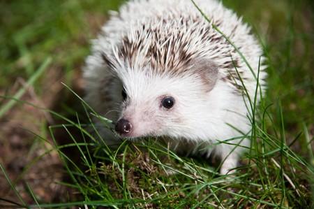 pigmy: African pigmy hedgehog facing forward on a green grass