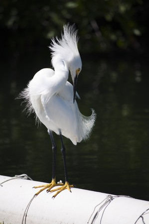 pappus: Ruffled snowy egret (Egretta thula) grooming on a pipe