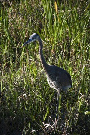 Great blue heron standing at the grassy marsh photo