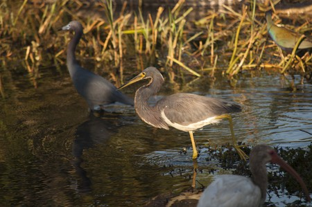 Little blue heron in focus wading along with ibis, tricolored heron and purple gallinule photo
