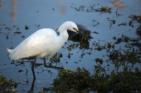 cooter: Snowy egret (Egretta thula) wading in water Stock Photo