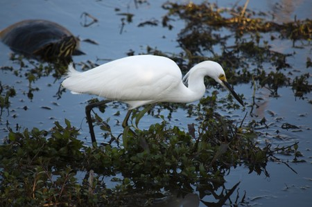 cooter: Snowy egret (Egretta thula) wading  and watching water Stock Photo