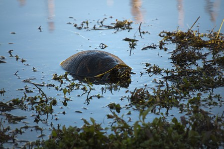 cooter: Common cooter walking on water grass