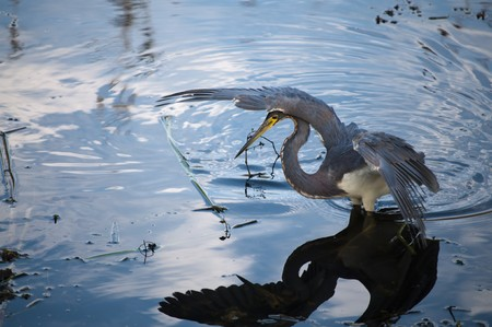 Tricolored heron getting ready to catch its prey in the water