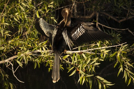 Anhinga drying wings and grooming at a tree branch Stock Photo - 8087918