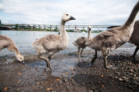 brood: A brood of goslings walking out of Willamette river