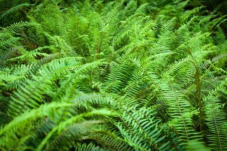 Western sword fern leaflets (Polystichum munitum)