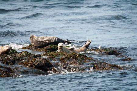 beached: Three harbor seals beached on rocks