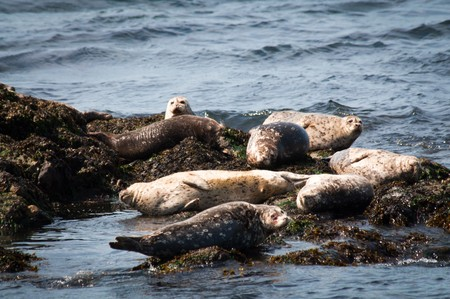 puget: Group of harbor seals on rocks in Puget Sound Stock Photo