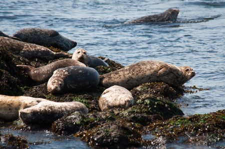 beached: Harbors seals (Phoca vitulina) beached on rocks in Puget sound