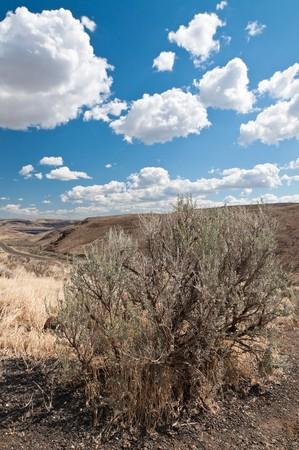 sagebrush: Dry sagebrush on the  hill in Eastern Washington