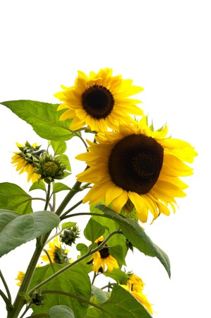 helianthus: Isolated sunflower plant with flowers and buds on white