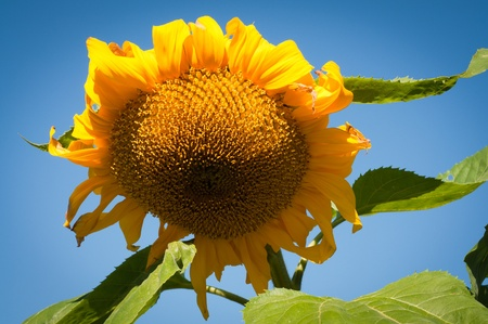 Sunflower head with blue sky on background photo