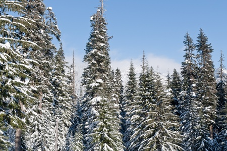 Snow covered pine trees on a blue sky