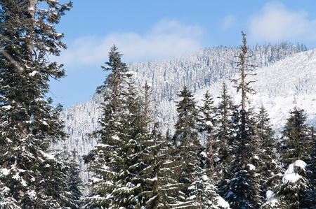 Tops of snow covered trees with a snowy mountain and blue sky on background photo