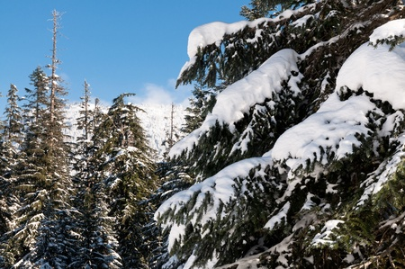 Branches of pine tree under the snow in the mountains on a sunny day photo