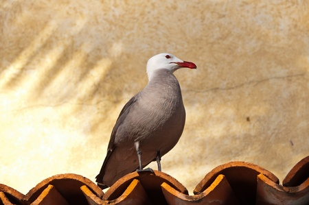 Heermanns gull on a terracotta roof