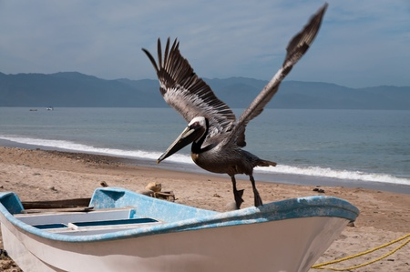 Brown pelican takes off row boat om the beach photo
