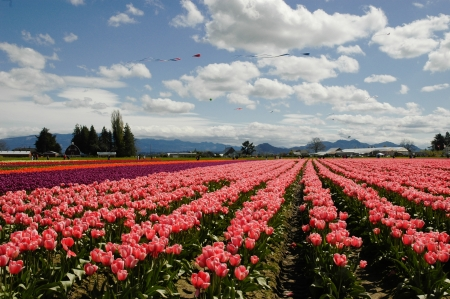 Colorful tulip field and kites flying across the sky Stock Photo