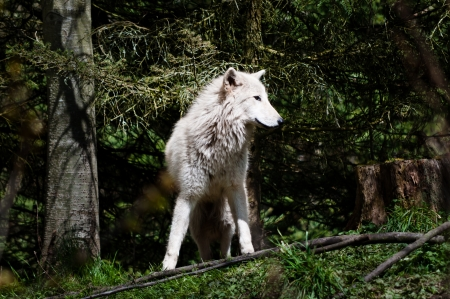 Frontal view of gray wolf in the woods photo