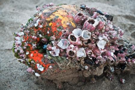 barnacles: Boa vecchio coperto di denti di cane lavato via sulla spiaggia