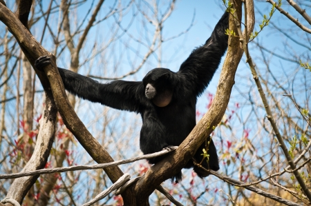siamang: Black siamang holding to a Y-shaped tree branch Stock Photo