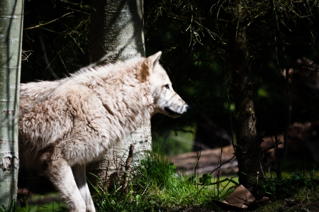 Side view of gray wolf torso in the woods photo