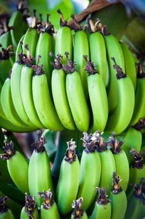 musa: Bunch of bananas (musa balbisiana) on a tree