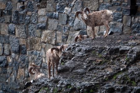 rocky mountain bighorn sheep: Herd of bighorn sheep standing near the mountain road Stock Photo