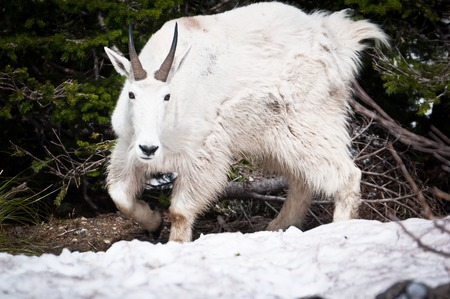thawed: Mountain goat looking straight on the thawed patch in the forest Stock Photo