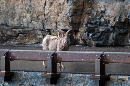 rocky mountain bighorn sheep: Bighorn on the road of Glacier National park