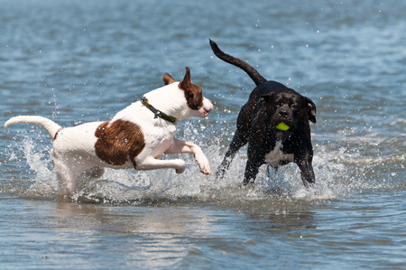 Two dogs playing in the water Stock Photo