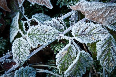 stillness: Ice crystals on a blackberry plant Stock Photo