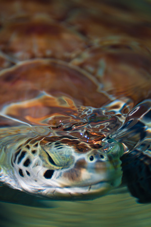 chelonia: Green sea turtles head just under the water surface Stock Photo