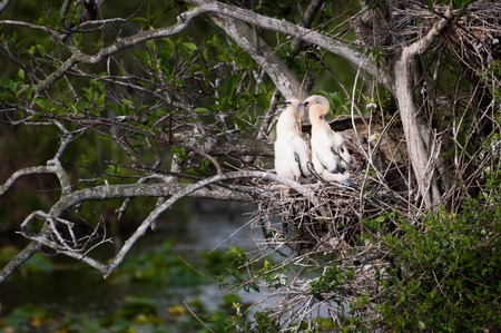Everglades national park: Two anhinga chicks in the nest at Everglades National Park