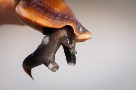 visceral: Florida fighting conch close-up with mollusks body out of shell