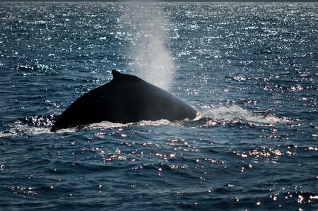 humpback whale: Humpback whale exhaling Stock Photo