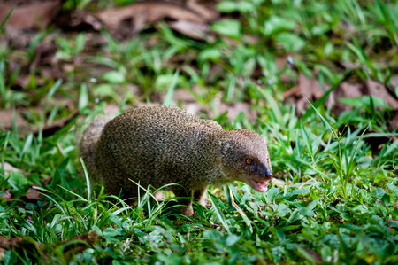 mongoose: Small asian mongoose - Herpestes javanicus