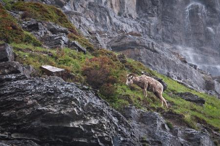 rocky mountain bighorn sheep: Grazing mountain sheep in Glacier National park Stock Photo
