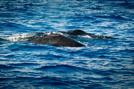 baleen whale: Backs of two humpback whales surfacing Stock Photo