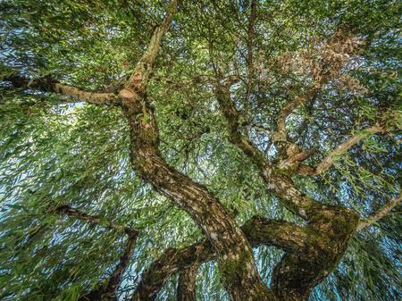 Wilgenboomkroon en boomstammening van onderaan