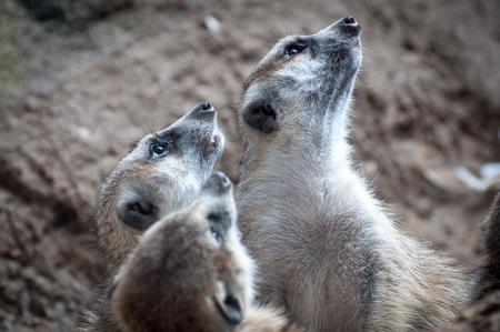 Three curious meerkats looking up